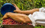 Kona Coffee Harvesting