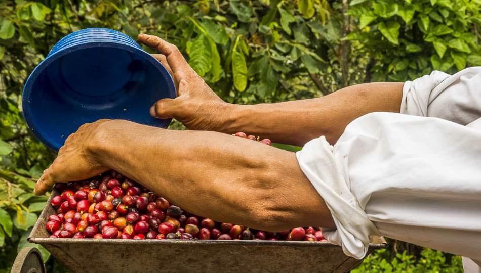 Kona Coffee Farm worker processing beans