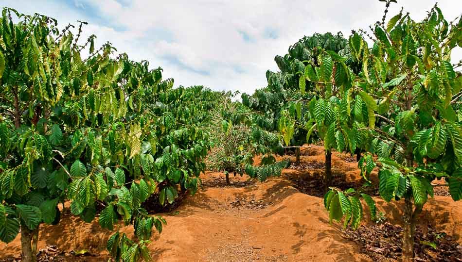 Kona Coffee Farm on the Big Island of Hawaii