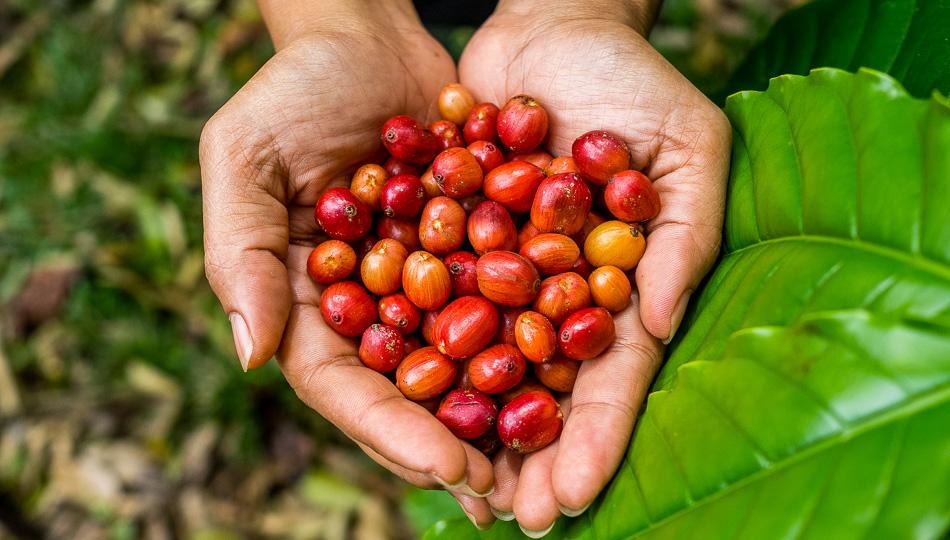 Kona Coffee Farm Guide
