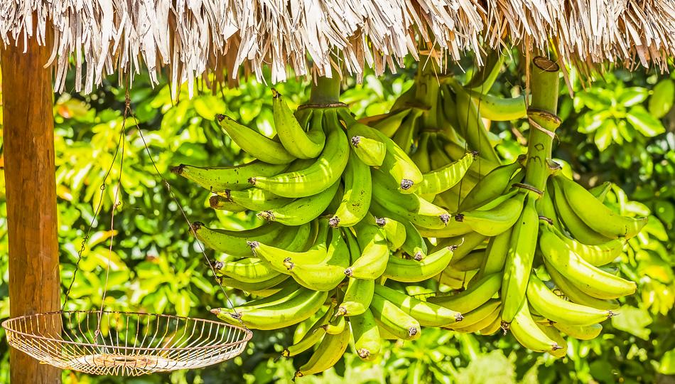 Fresh Bananas offered at a Big Island Farmers Markets