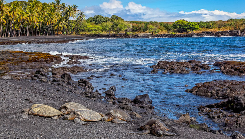 Turtles Resting on Punaluu Black Sand Beach