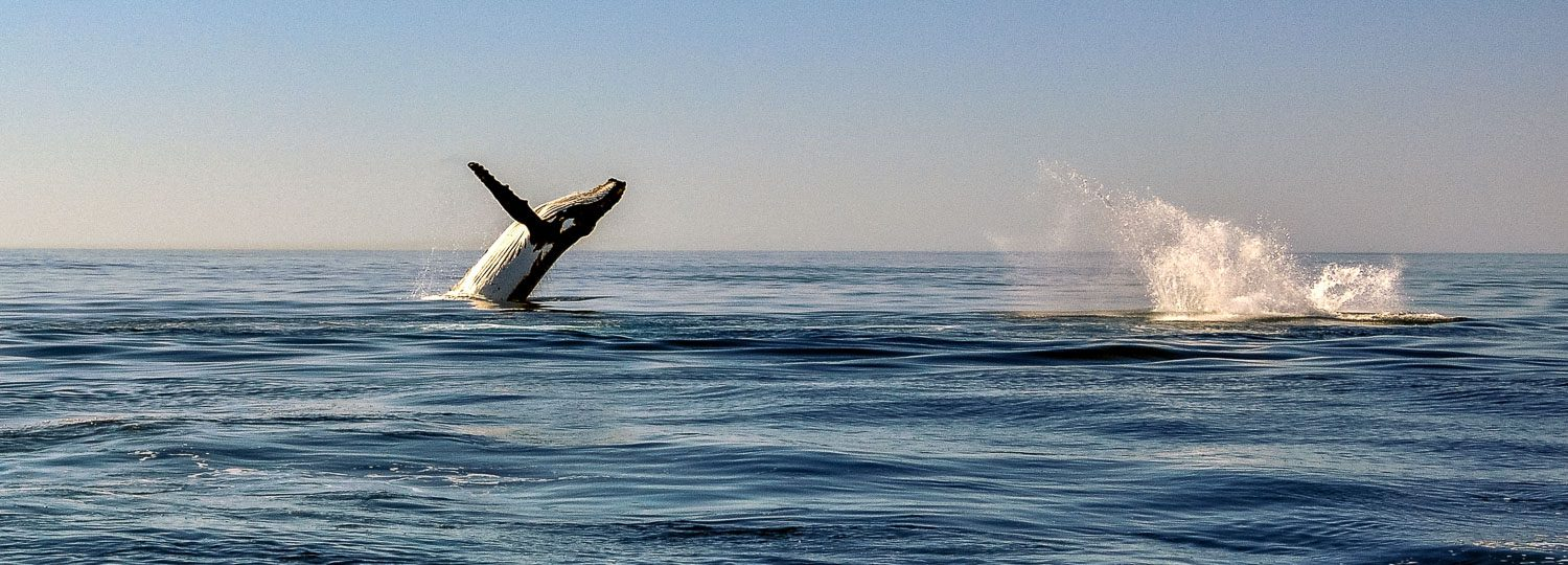 Whale watching is a great Big Island Sightseeing Activity