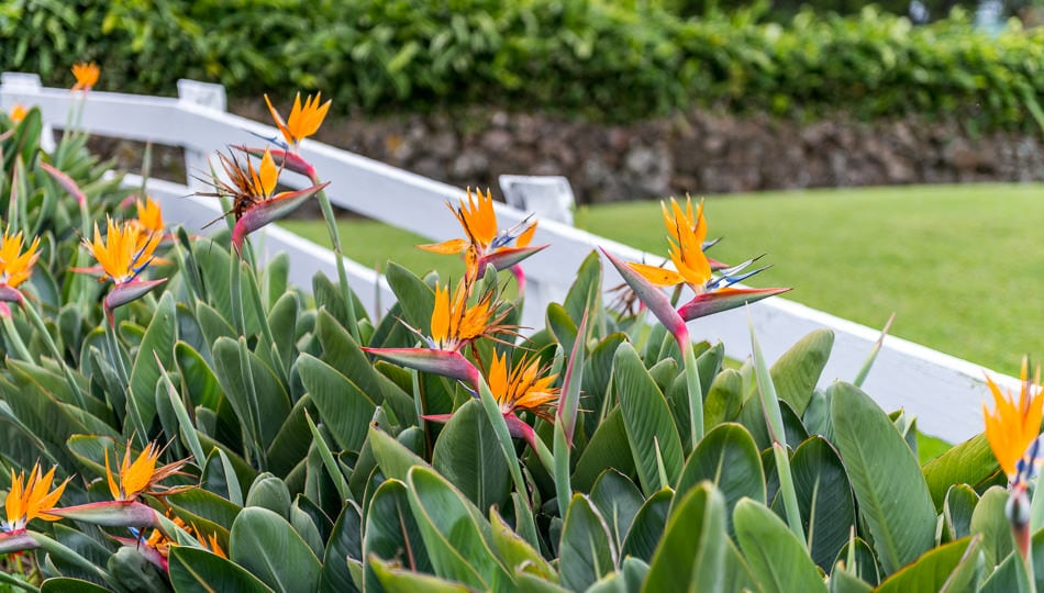 Bird of Paradise Flowers at the Historic Anna Ranch in Waimea Hawaii