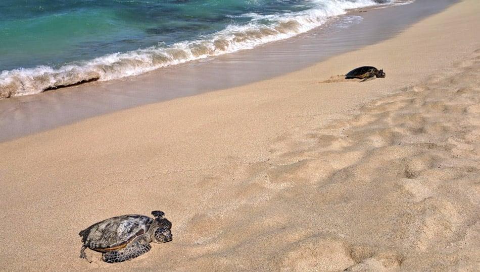 Green Sea Turtles resting on Kukio Beach