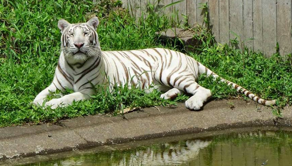 White Tiger at the Panaewa Rainforest Zoo