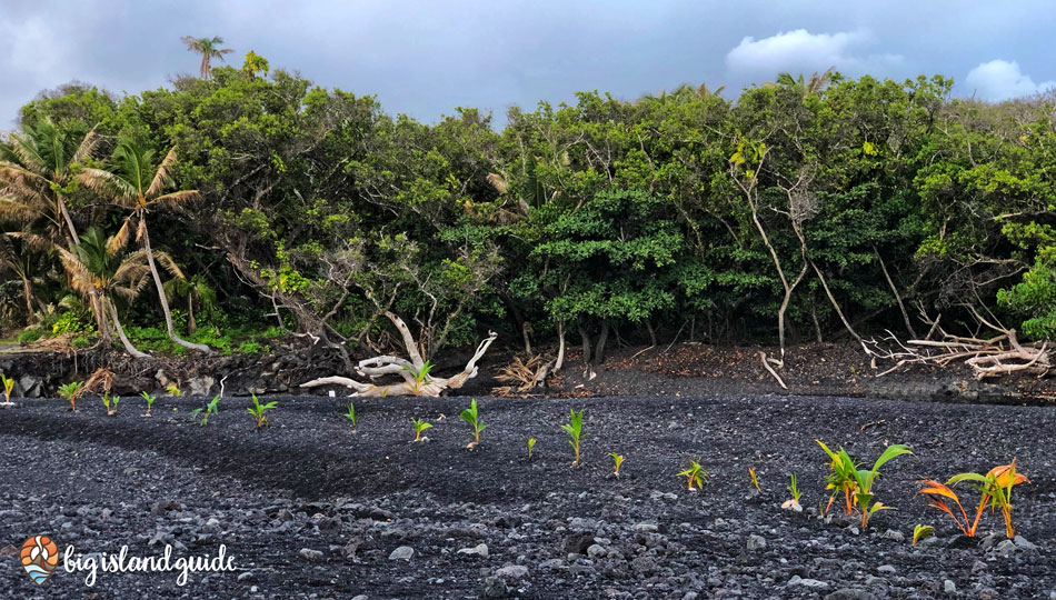 Isaac Hale Beach Park New Black Sand Beach with Coconut Palms Growing