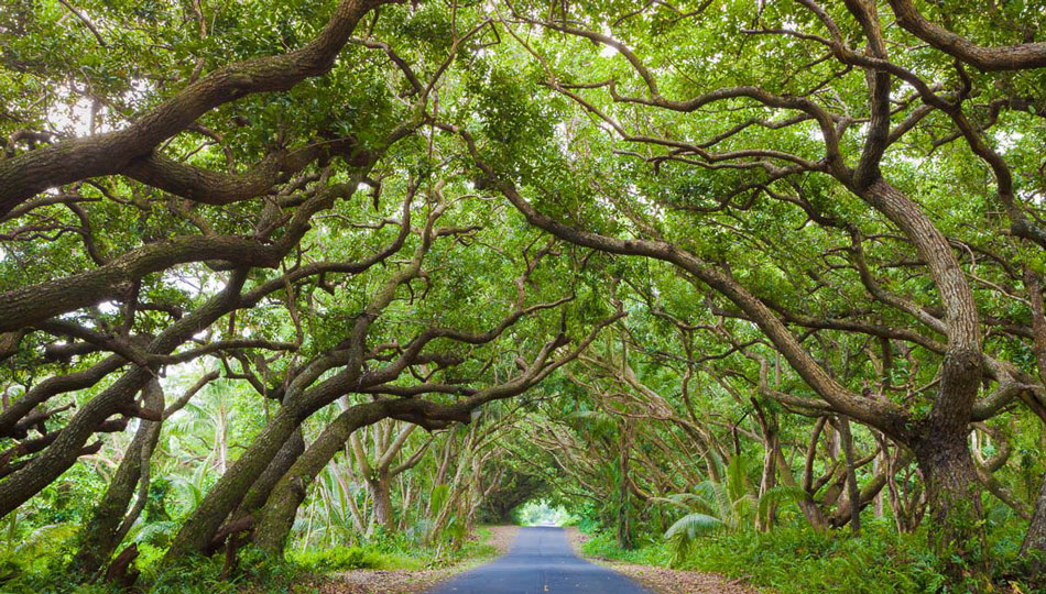 Trees Cover the Red Road Drive near Puna Hawaii