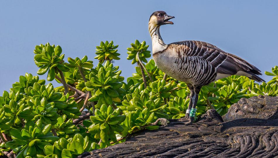 Nēnē - an endangered Hawaiian goose